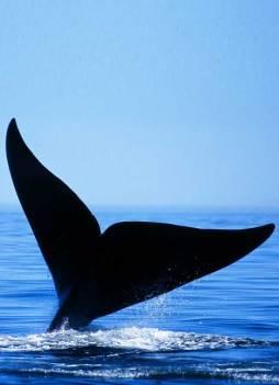 image-whale-dive